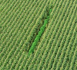 Marijuana grows concealed by rows of corn. (SOURCE: Google Images)